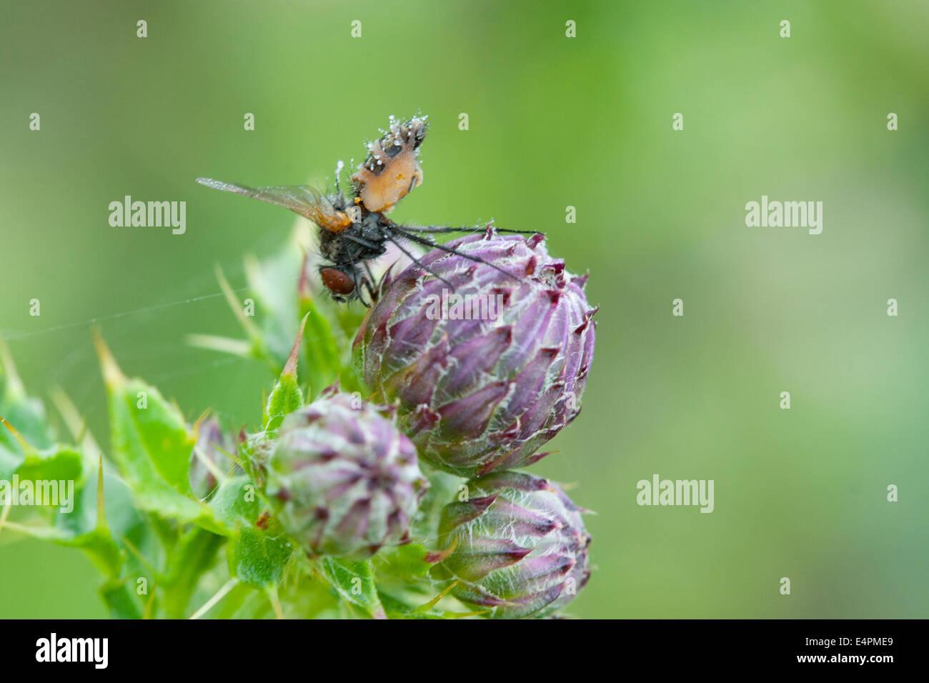 Fliege auf einer Distel - Stock Image