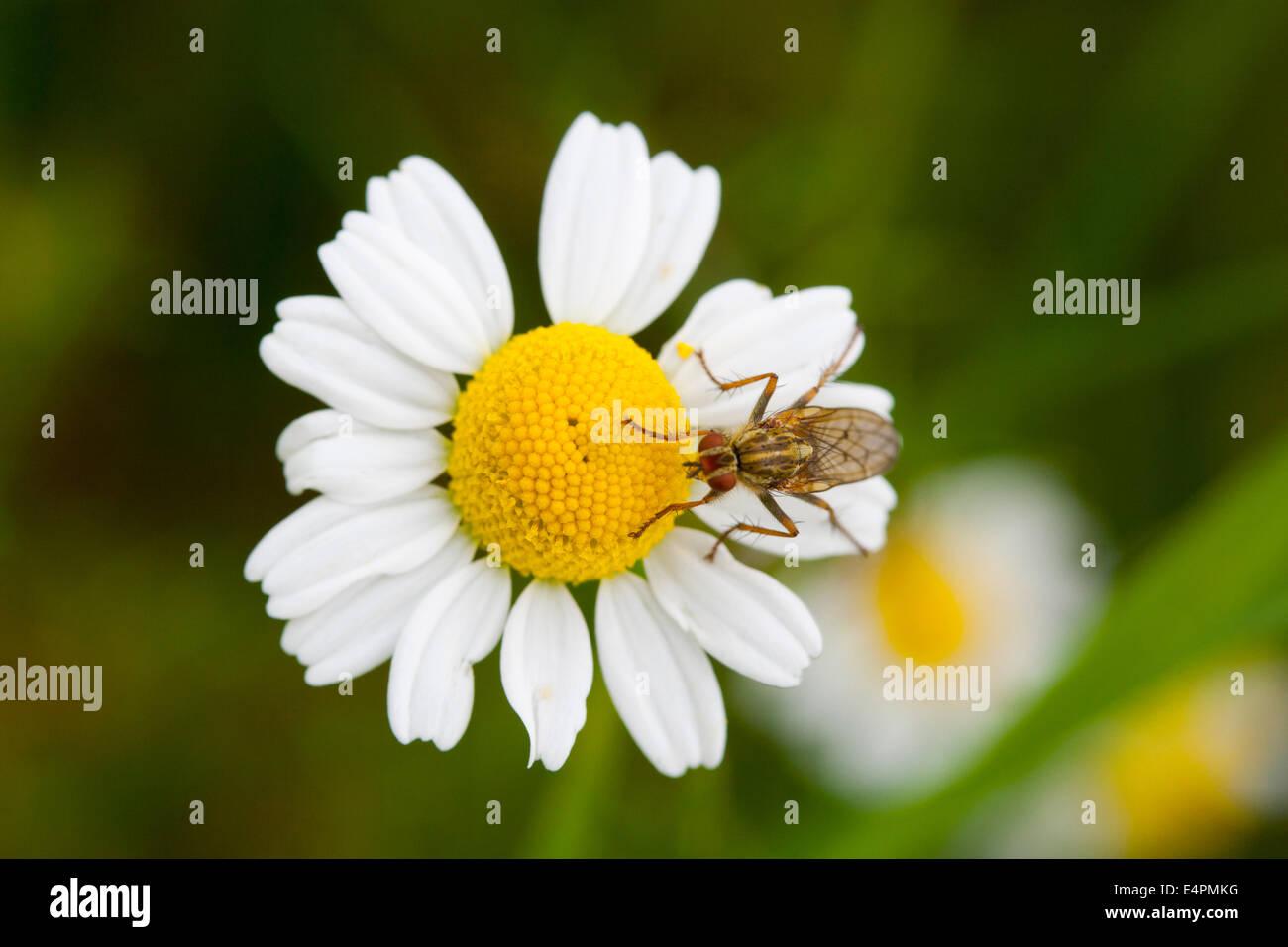 Fliege auf einer Blüte - Stock Image
