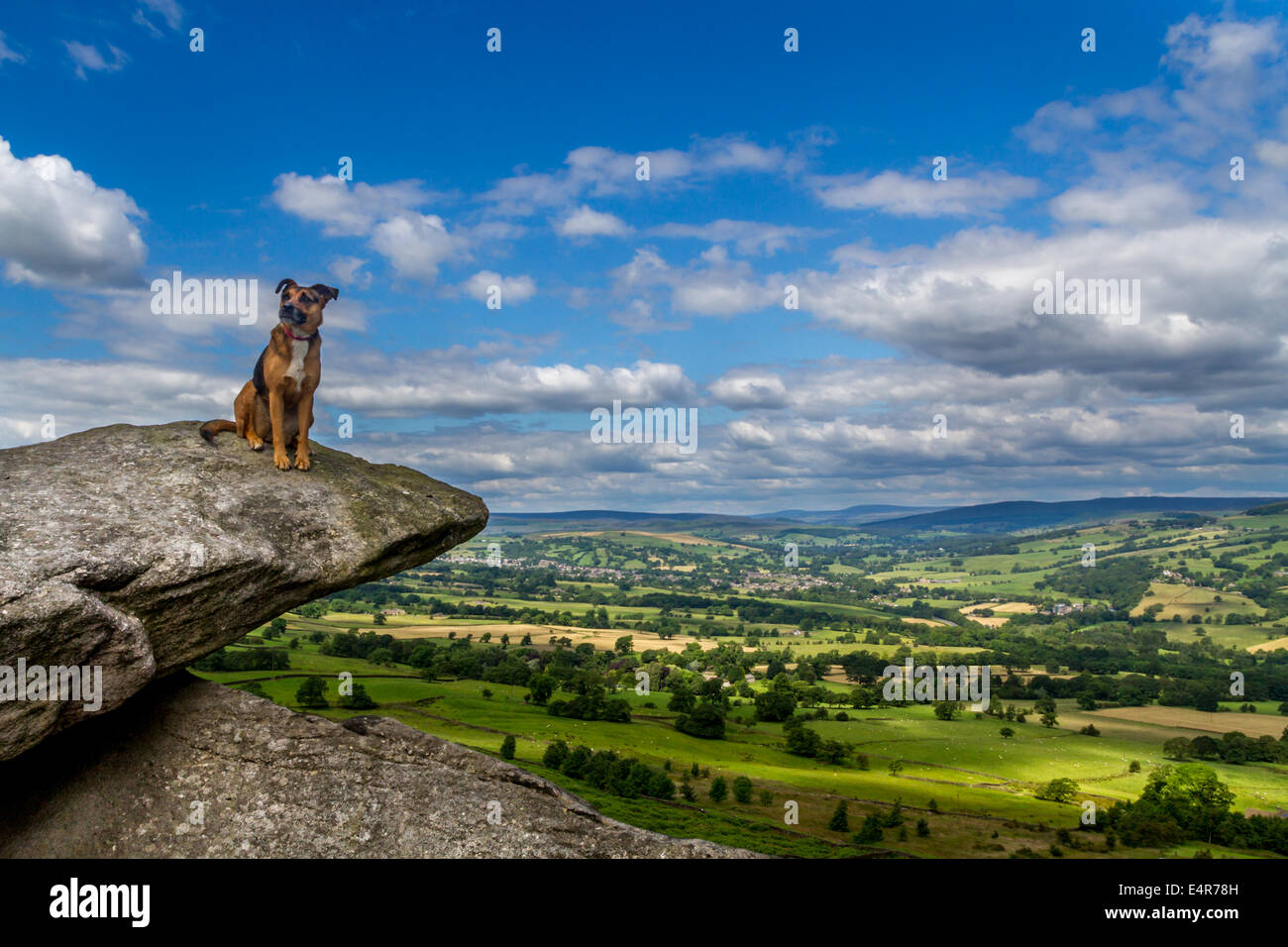 Dog enoying the sunshine perched on a ledge in Yorkshire Dales - Stock Image
