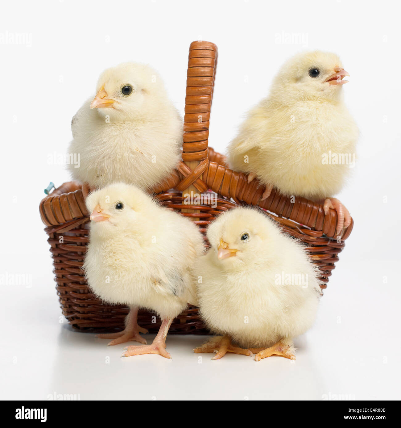 Four yellow chicks in basket, Light Sussex chicks Stock Photo