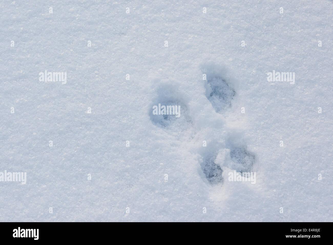 Red squirrel, Eurasian red squirrel, track in snow, Eichhörnchen, Spur, Schnee, Trittsiegel, Sciurus vulgaris, - Stock Image