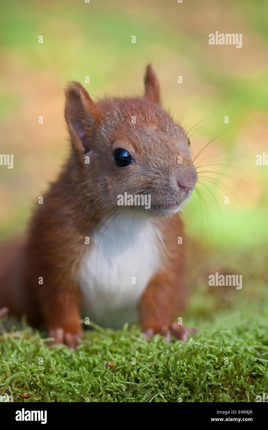 31 eichhörnchen zum ausdrucken  besten bilder von