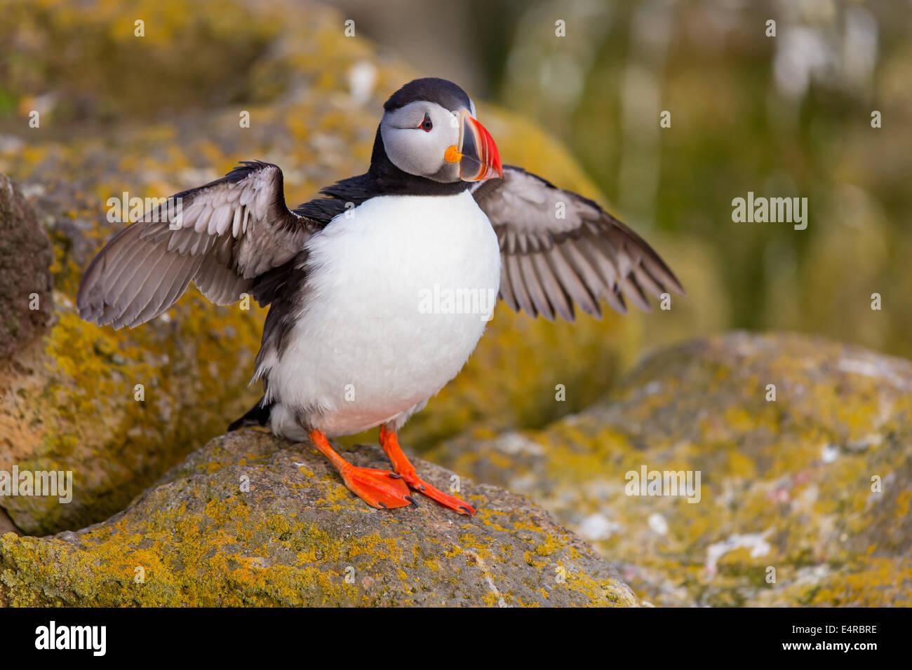 Parrot diver, Atlantic Puffin, Fratercula arctica , Papageitaucher, Atlantic Puffin, Fratercula arctica, Papageientaucher Stock Photo