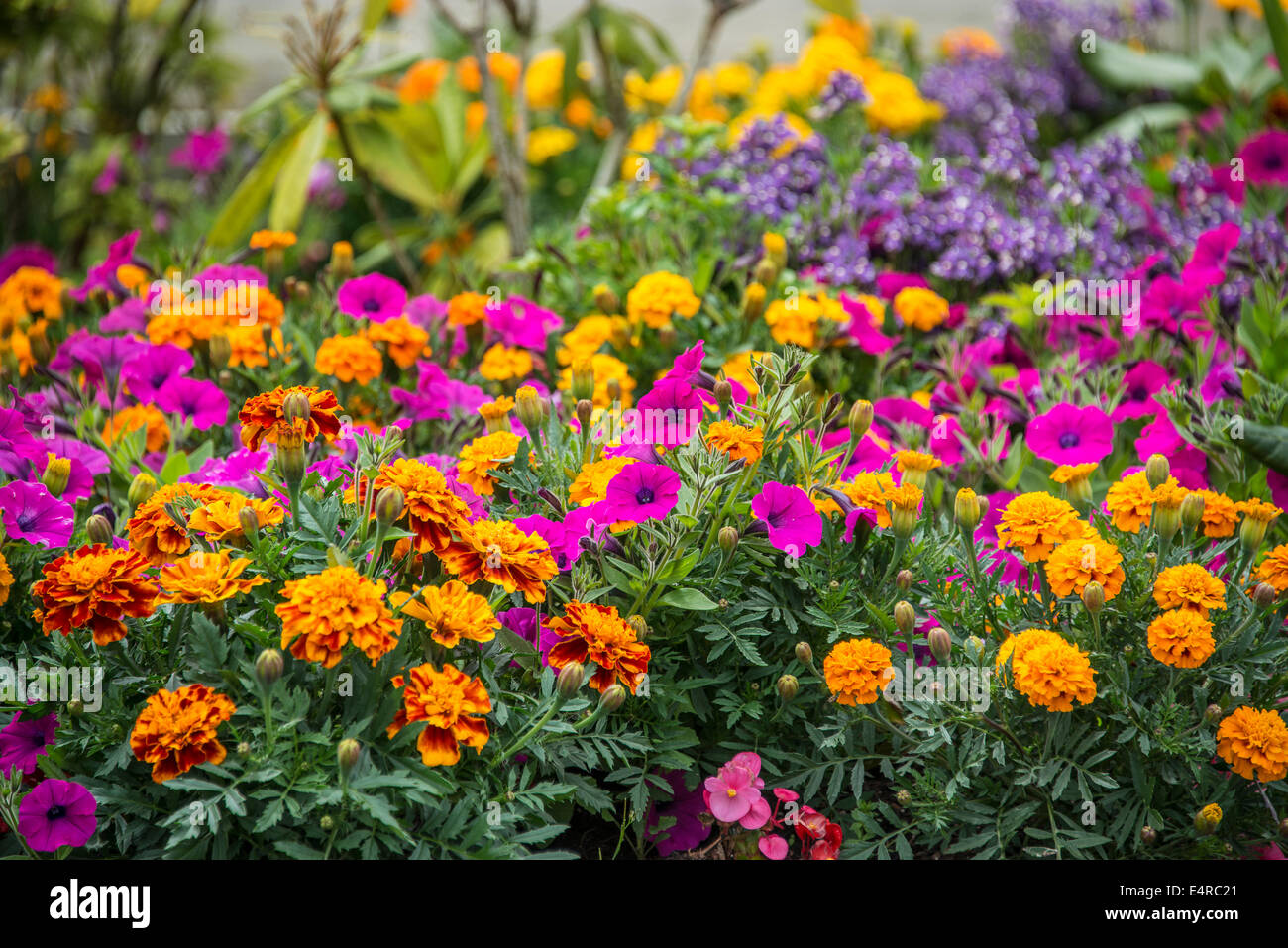Summer Bedding Plants High Resolution Stock Photography And Images Alamy