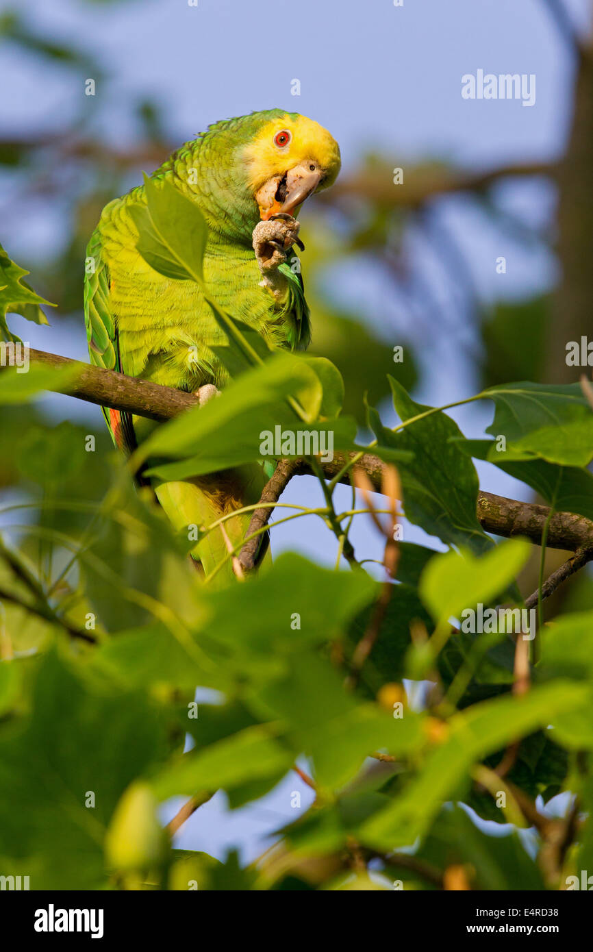 Yellow-crowned Amazon, Yellow-crowned Parrot, Gelbscheitelamazone, Surinam-Amazone, Amazona ochrocephala, Papagei - Stock Image