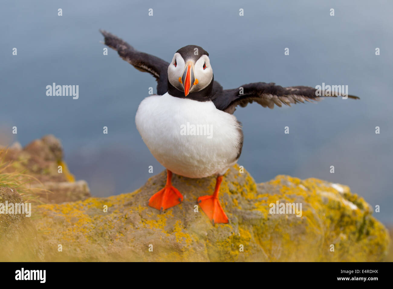 Parrot diver, Atlantic Puffin, Fratercula arctica , Papageitaucher, Atlantic Puffin, Fratercula arctica, Papageientaucher Stock Photo