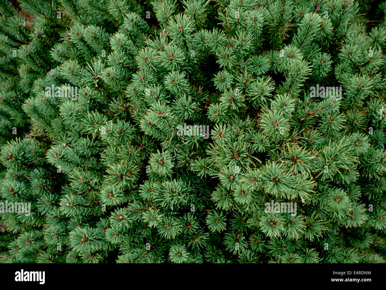 Branch ends of the Pacific Northwest spruce - Stock Image