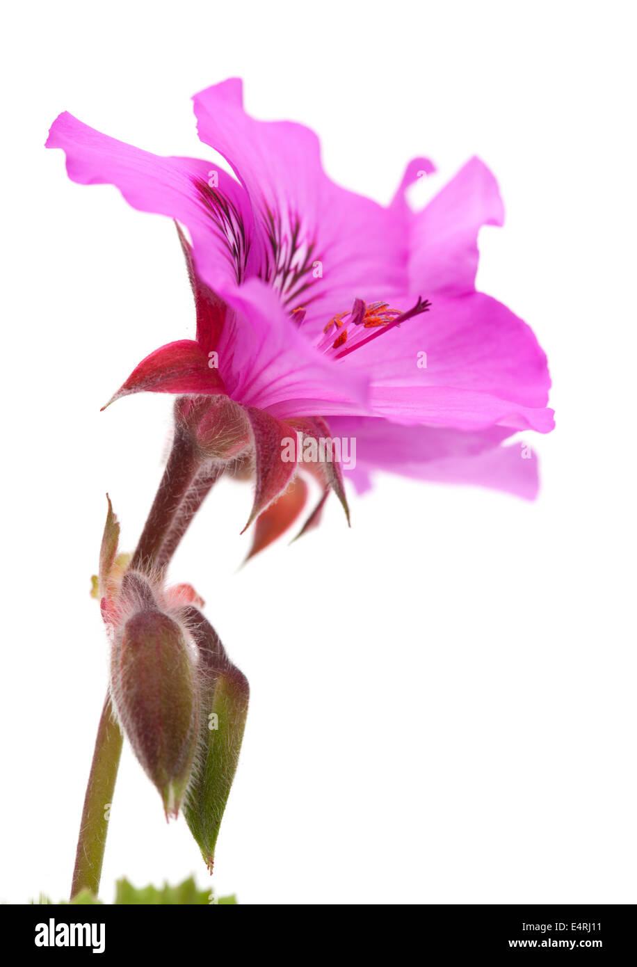 magenta Pelargonium flower isolated on white - Stock Image