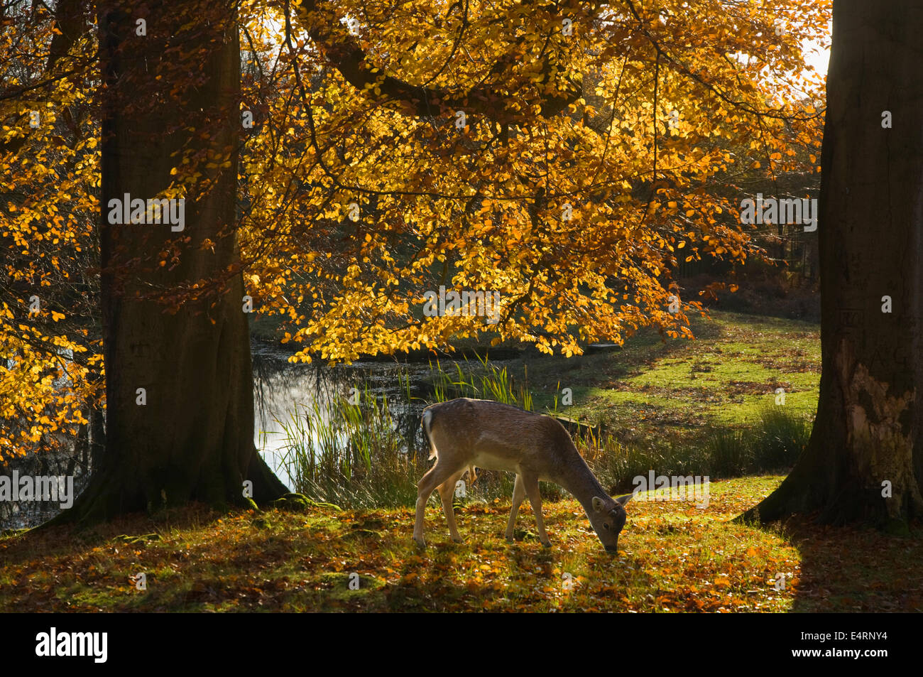 UK, Cheshire, Dunham Massey Park, autumn foliage and deer in warm sunlight - Stock Image