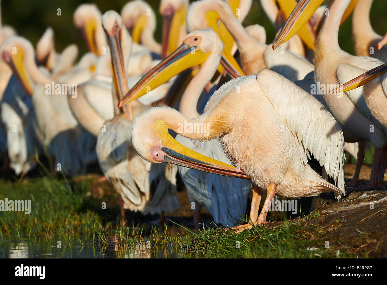 Group of Great White Pelicans the shore of Lake Awasa - Stock Image