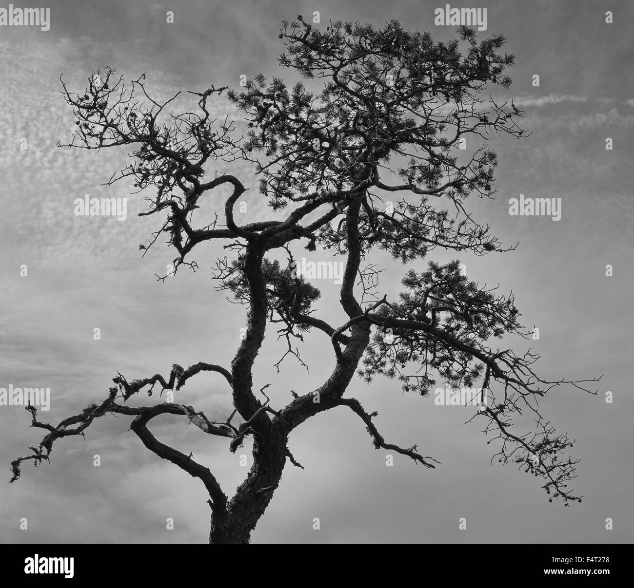 Stunted pine and cloudy sky, black and white image, horizon format - Stock Image