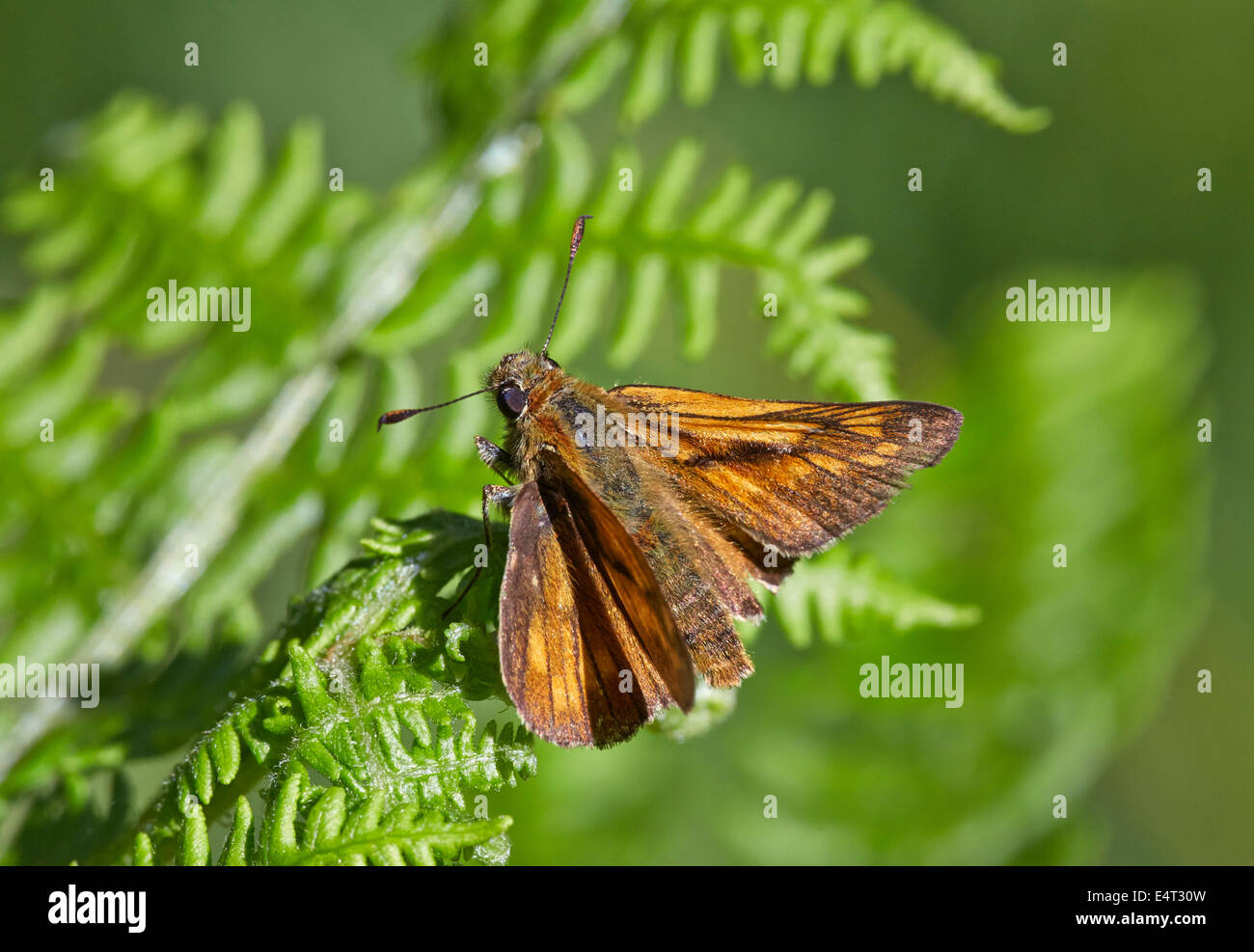 Large Skipper butterfly resting on bracken. Bookham Common, Surrey, England. - Stock Image