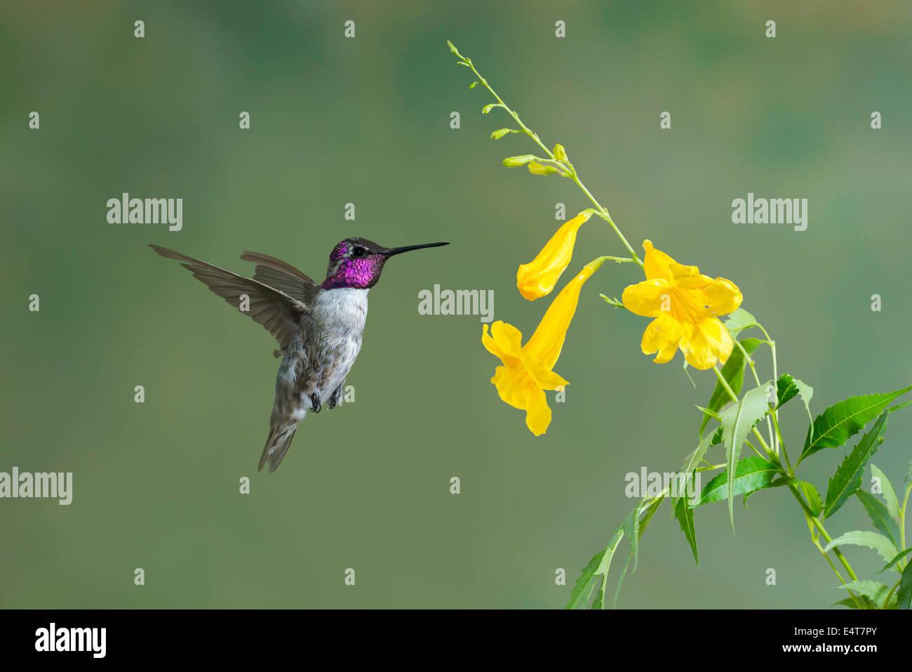 Costa's Hummingbird  Calypte costae Tucson, Arizona, United States 11 July       Adult Male         Trochilidae - Stock Image