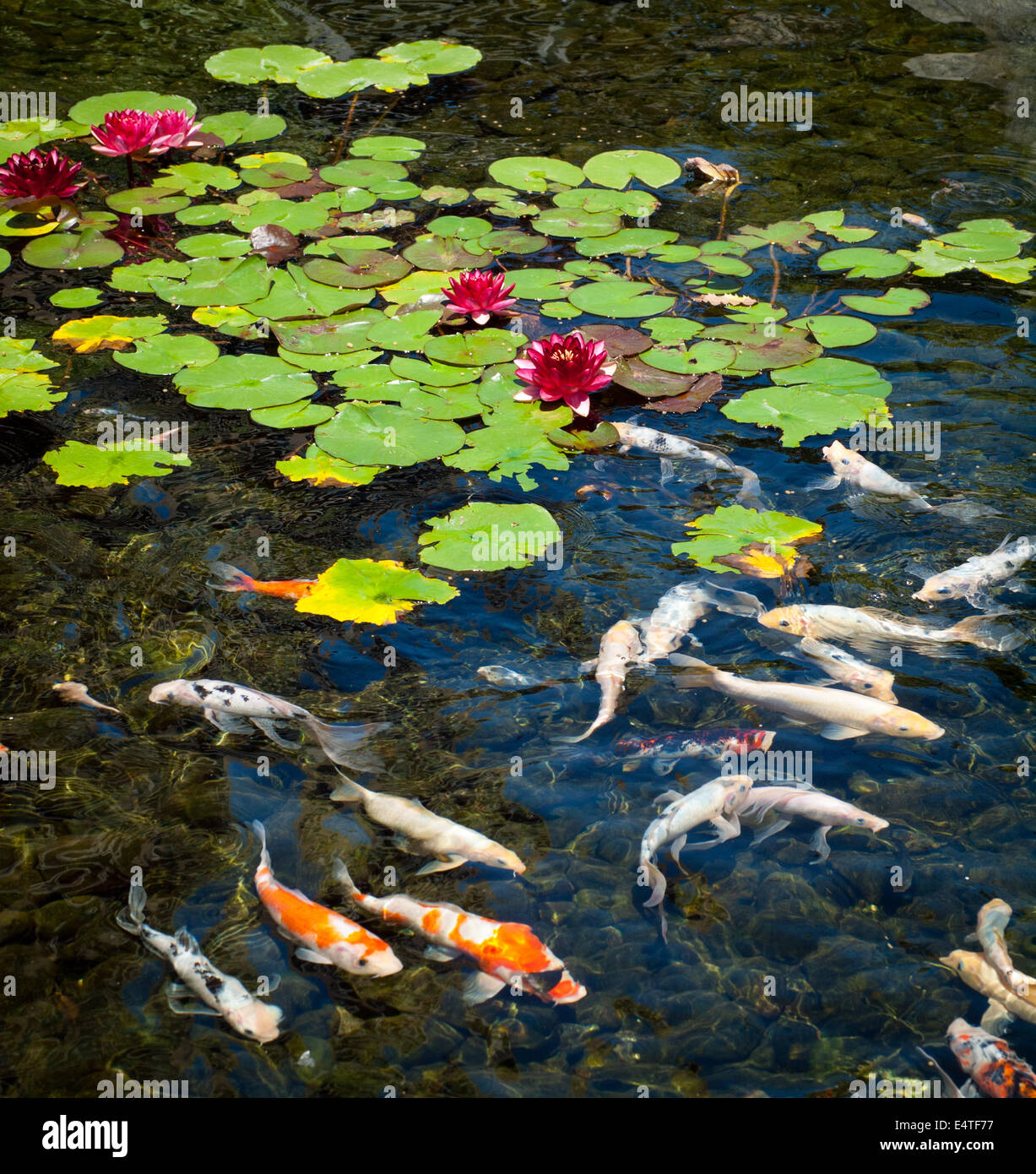 European water lilies and koi carp in a pond outside of the Parkside Hotel & Spa in Victoria, British Columbia, - Stock Image