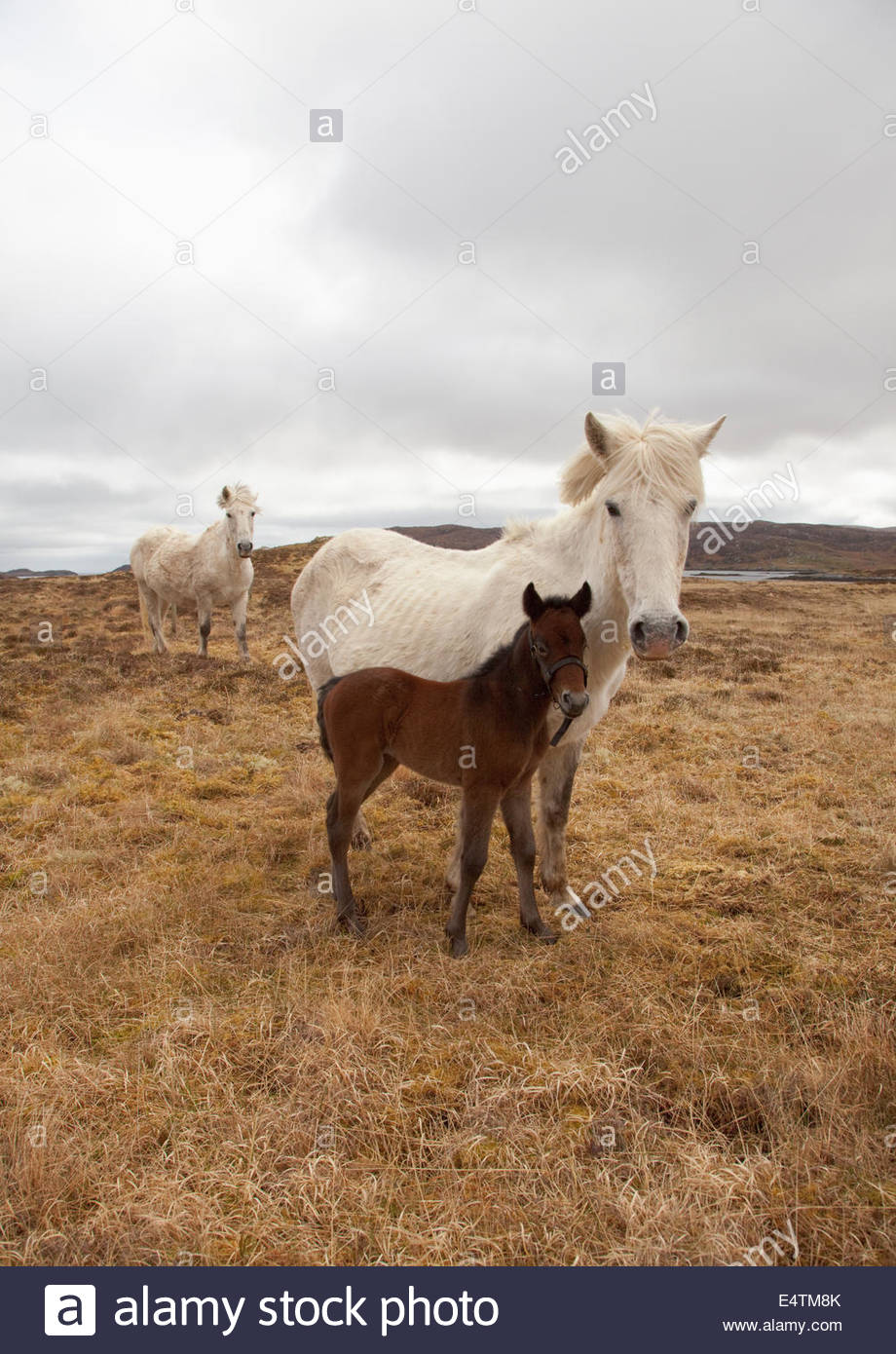 Eriskay Ponies grazing on moorland near Lochboisdale, South Uist, Outer Hebrides, Scotland. - Stock Image
