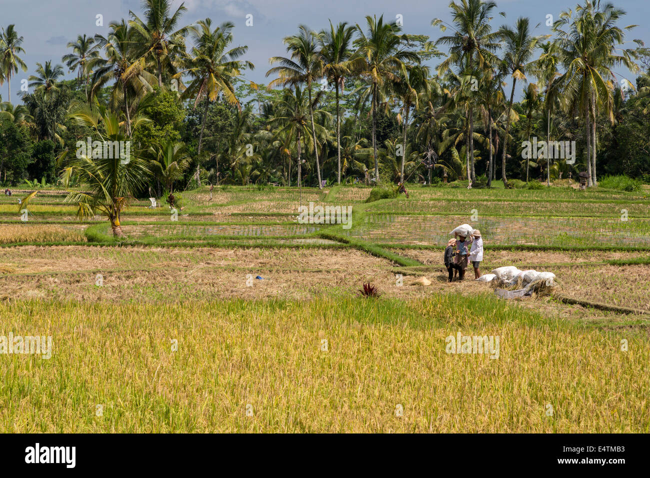 Bali, Indonesia.  Terraced Rice Fields.  Women Carrying Sacks of Rice. - Stock Image