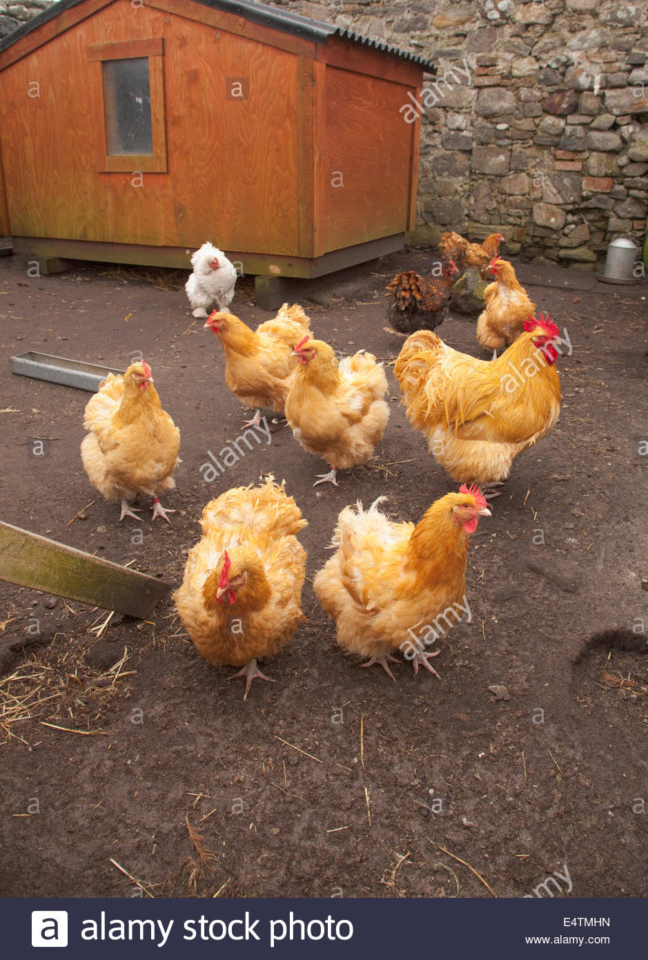 Free range hens at the Hebridean Woolshed at West Kilbride, Isle of South Uist, Outer Hebrides, Scotland. - Stock Image