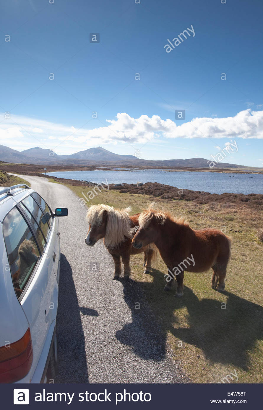 Ponies at Loch Druidibeg National Nature Reserve, Isle of South Uist, Outer Hebrides, Scotland. - Stock Image