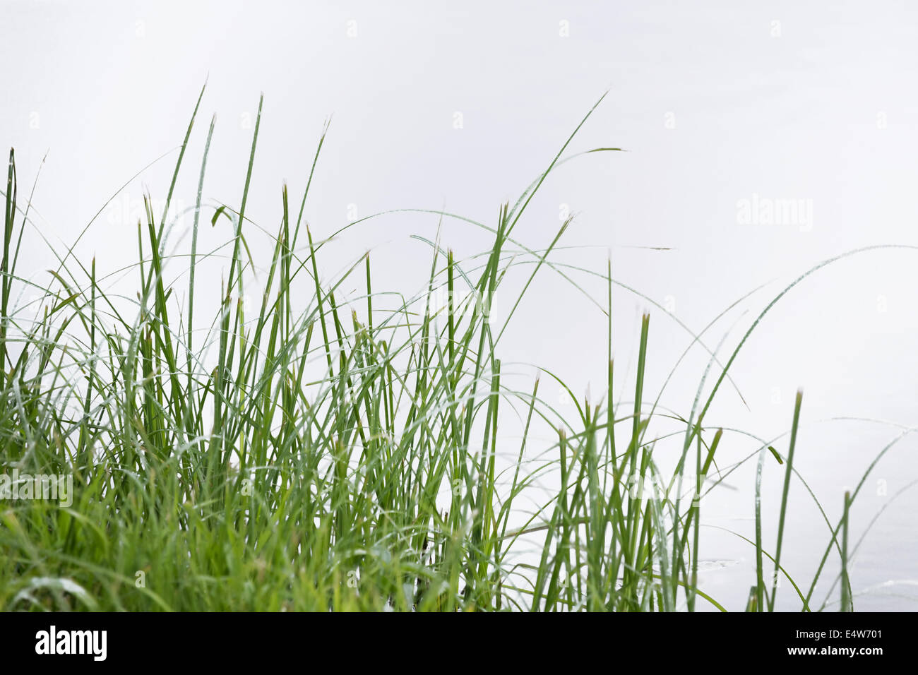 blades of green summer grass - Stock Image