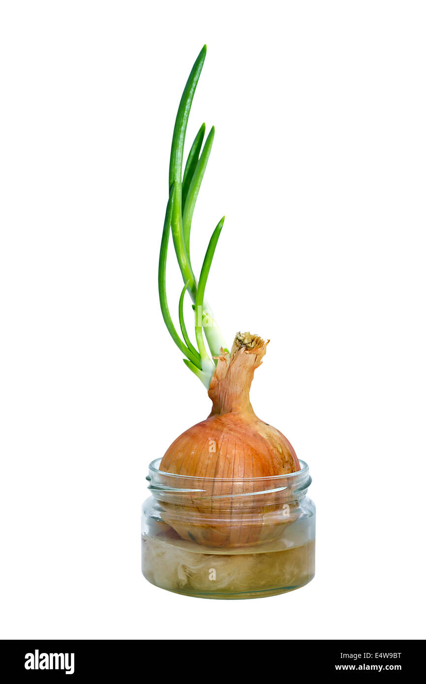 sprouted bulbs in a pot with water - Stock Image