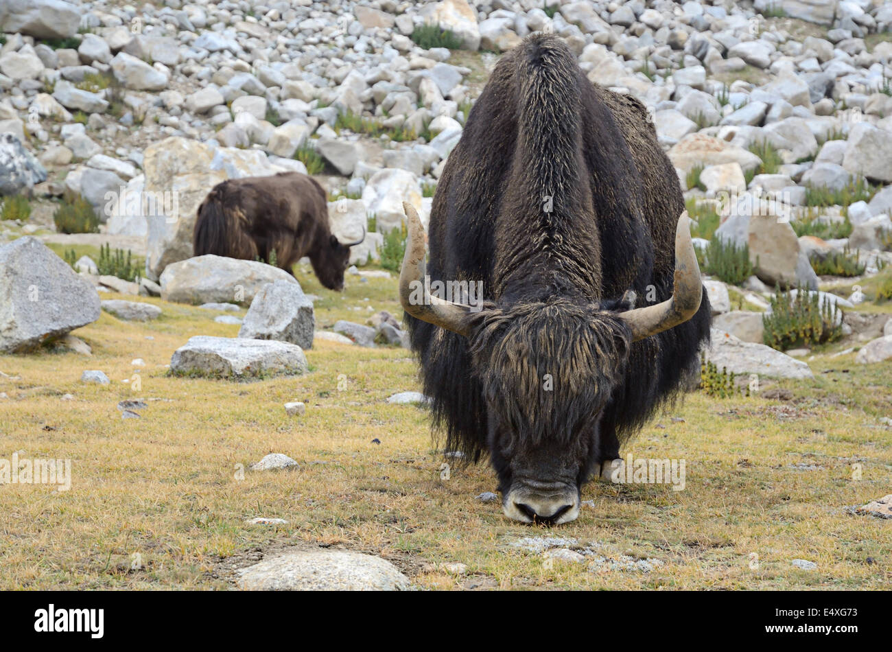 Yaks on pasture - Stock Image