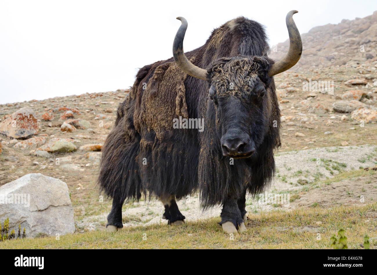 Image Of A Yak: Yak Nepal Stock Photos & Yak Nepal Stock Images