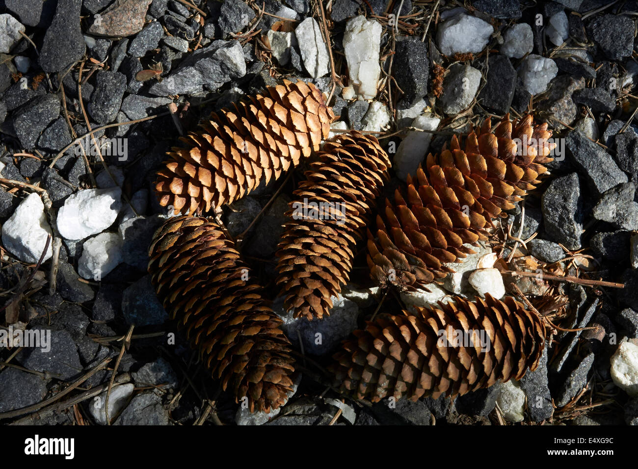 Picea abies, spruce cones on ground - Stock Image
