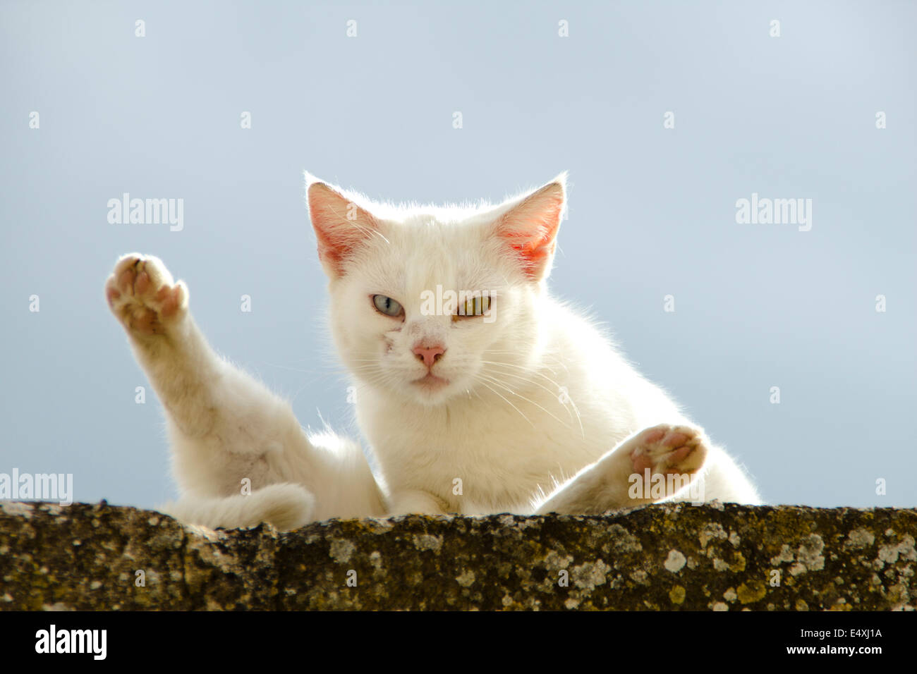 Cat with two different eyes on the Great walk of Saint James, Jakobsweg, Camino de Santiago, Spain, España, - Stock Image
