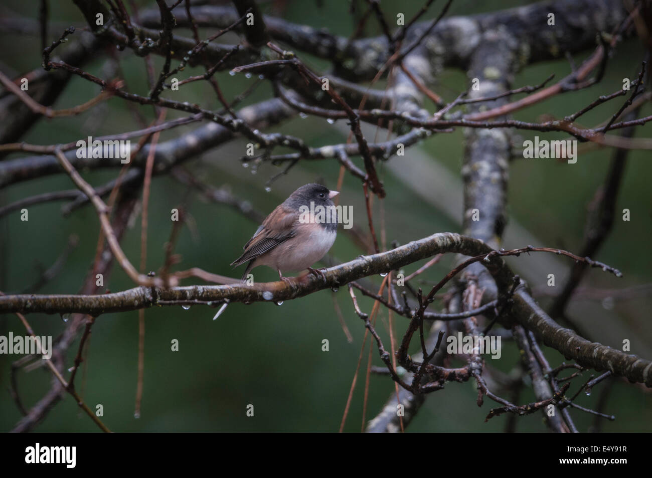 Oregon Junco (Junco hyemalis) male shelters in the branches of a Black Oak tree of the Sierra foothills of Northern Stock Photo