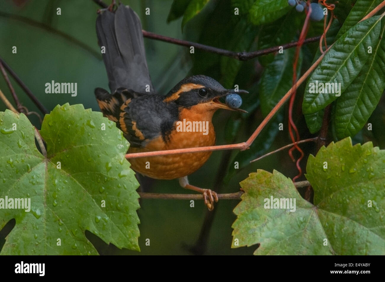 Varied Thrush (Ixoreus naevius) female feasting on the fruit of a wild grape. Northern California foothills of the - Stock Image