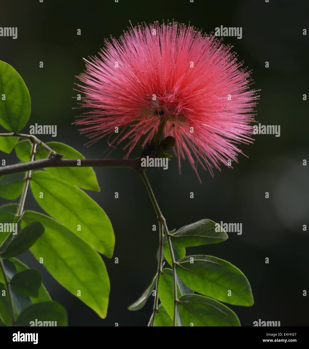 Silk tree flower stock photos silk tree flower stock images alamy silk tree flower stock image mightylinksfo