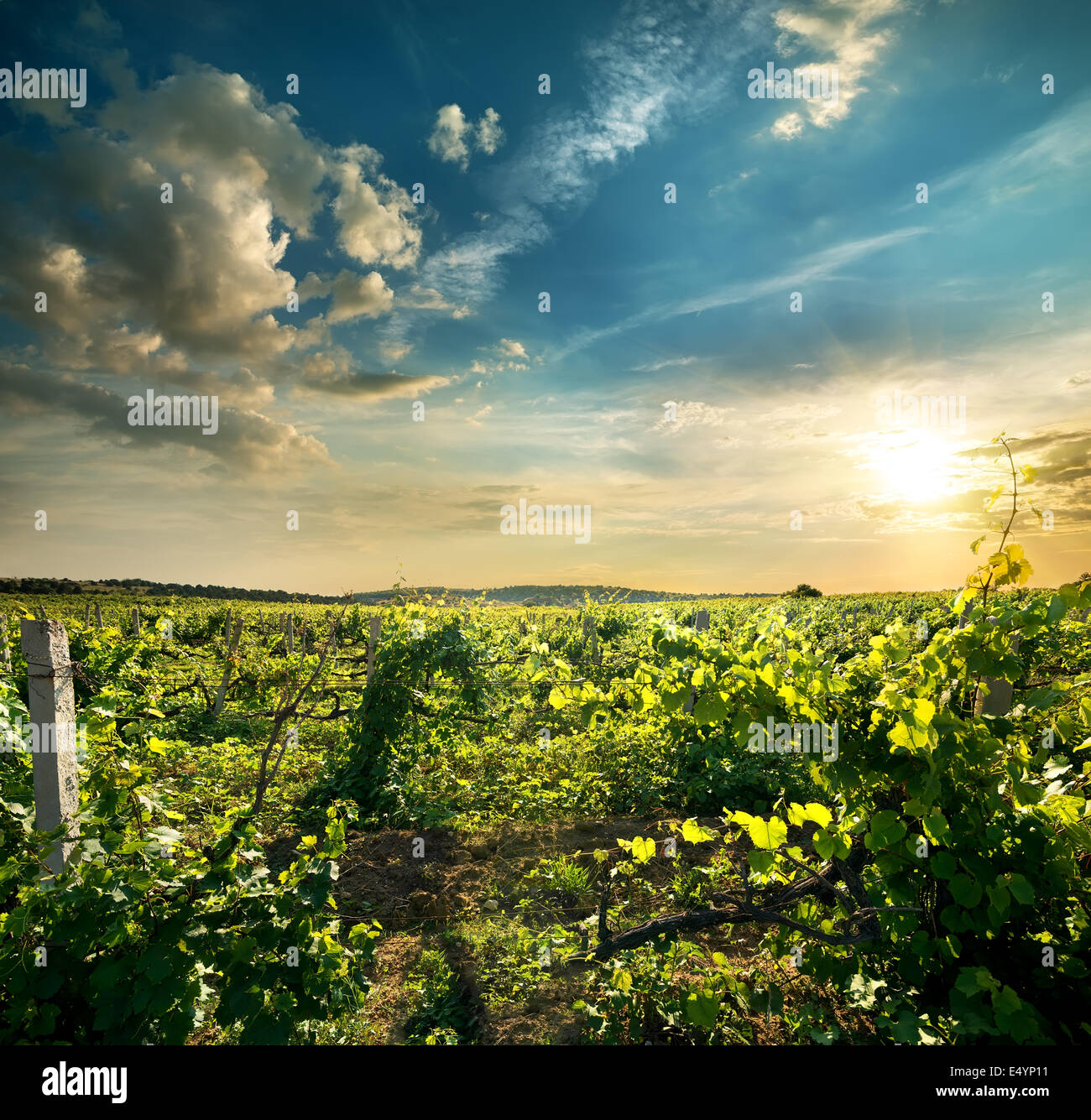 Green grape field in the evening sun Stock Photo