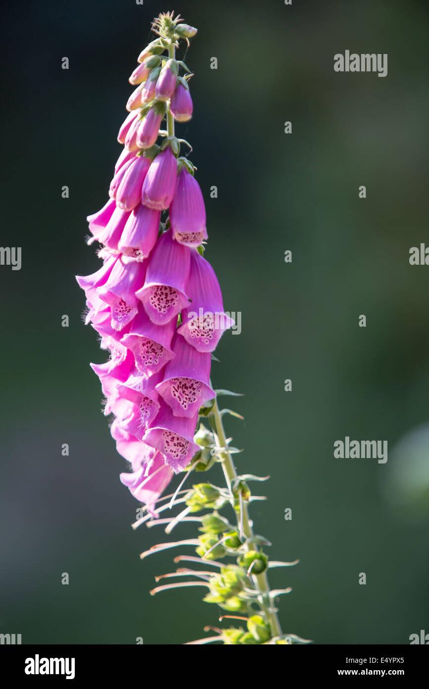 Foxglove (Digitalis purpurea) backlighting - Stock Image