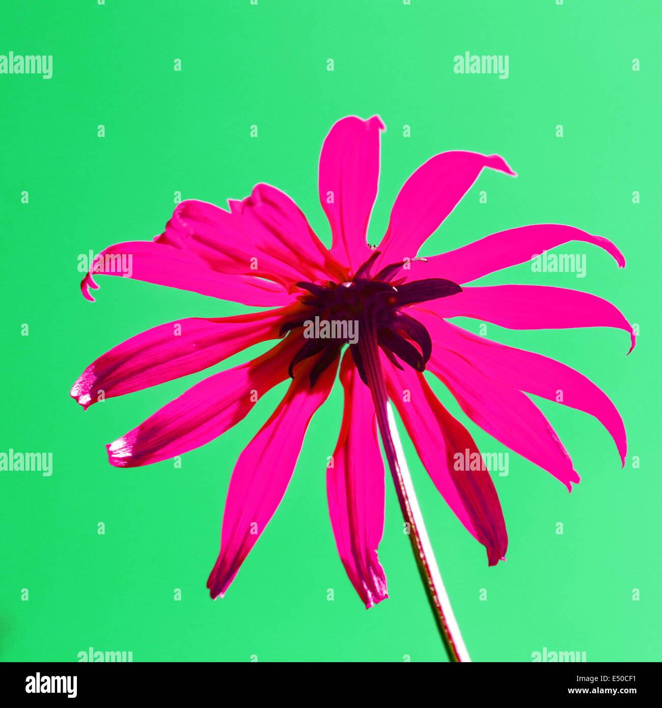 Sonnenhut - Stock Image