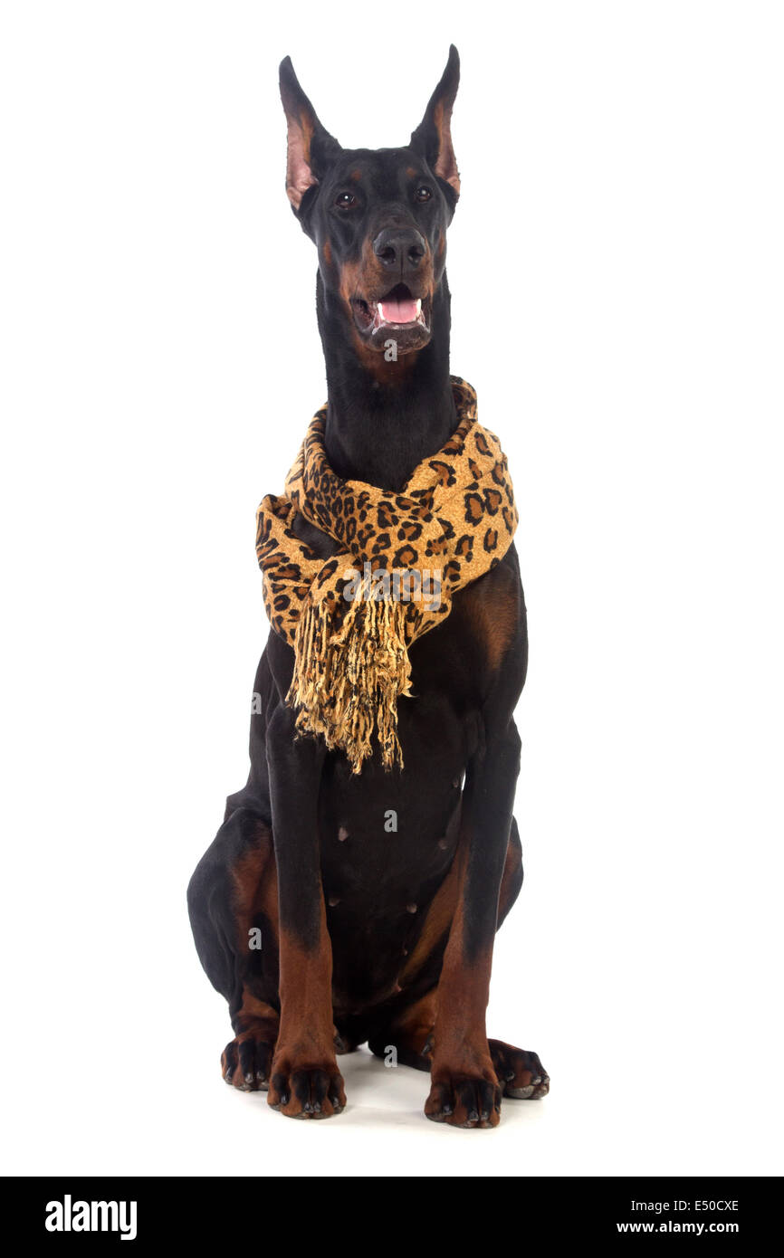 Doberman dog with scarf - Stock Image
