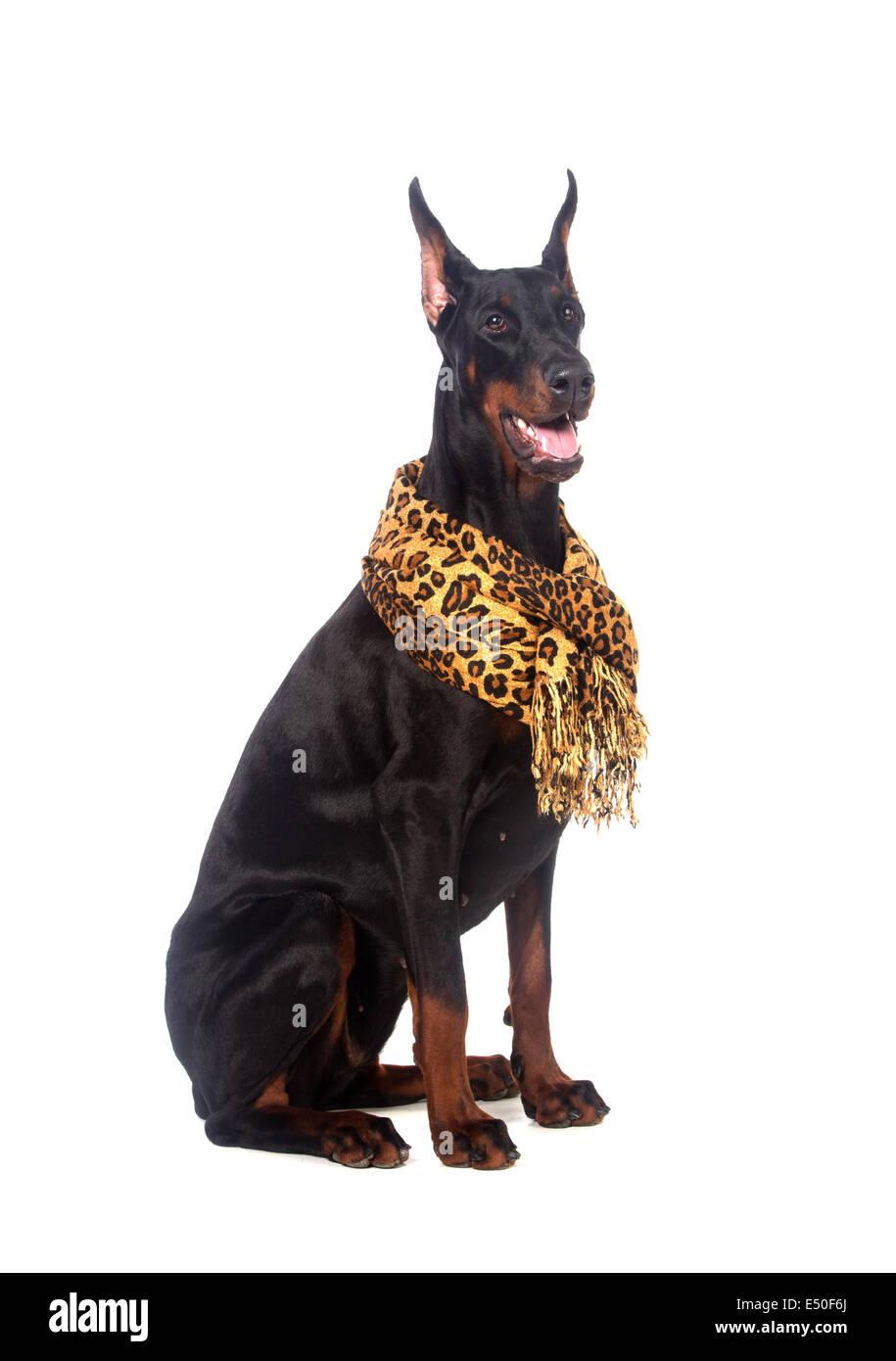 Doberman dog with scarf - Stock Image