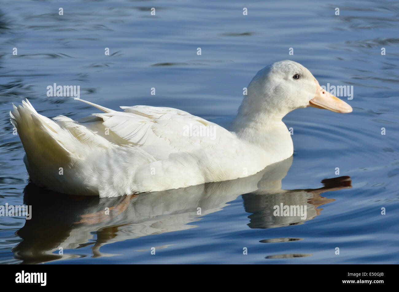Aylesbury duck - Stock Image