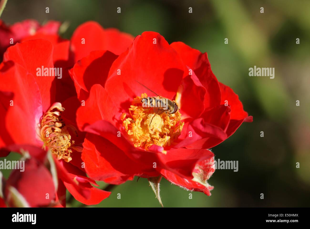 Hybrid-rose Stock Photo