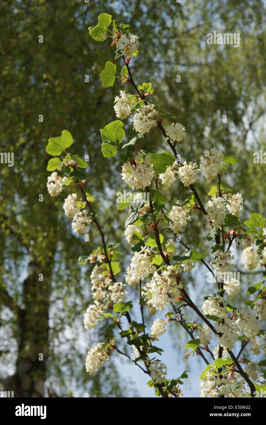 White flowering currant stock photo 71933234 alamy white flowering currant mightylinksfo