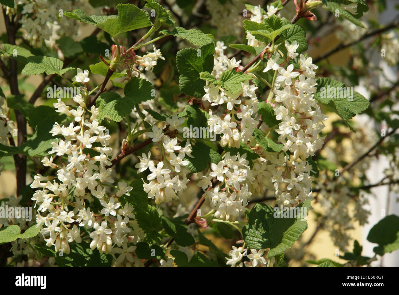 White flowering currant stock photo 71933256 alamy white flowering currant mightylinksfo