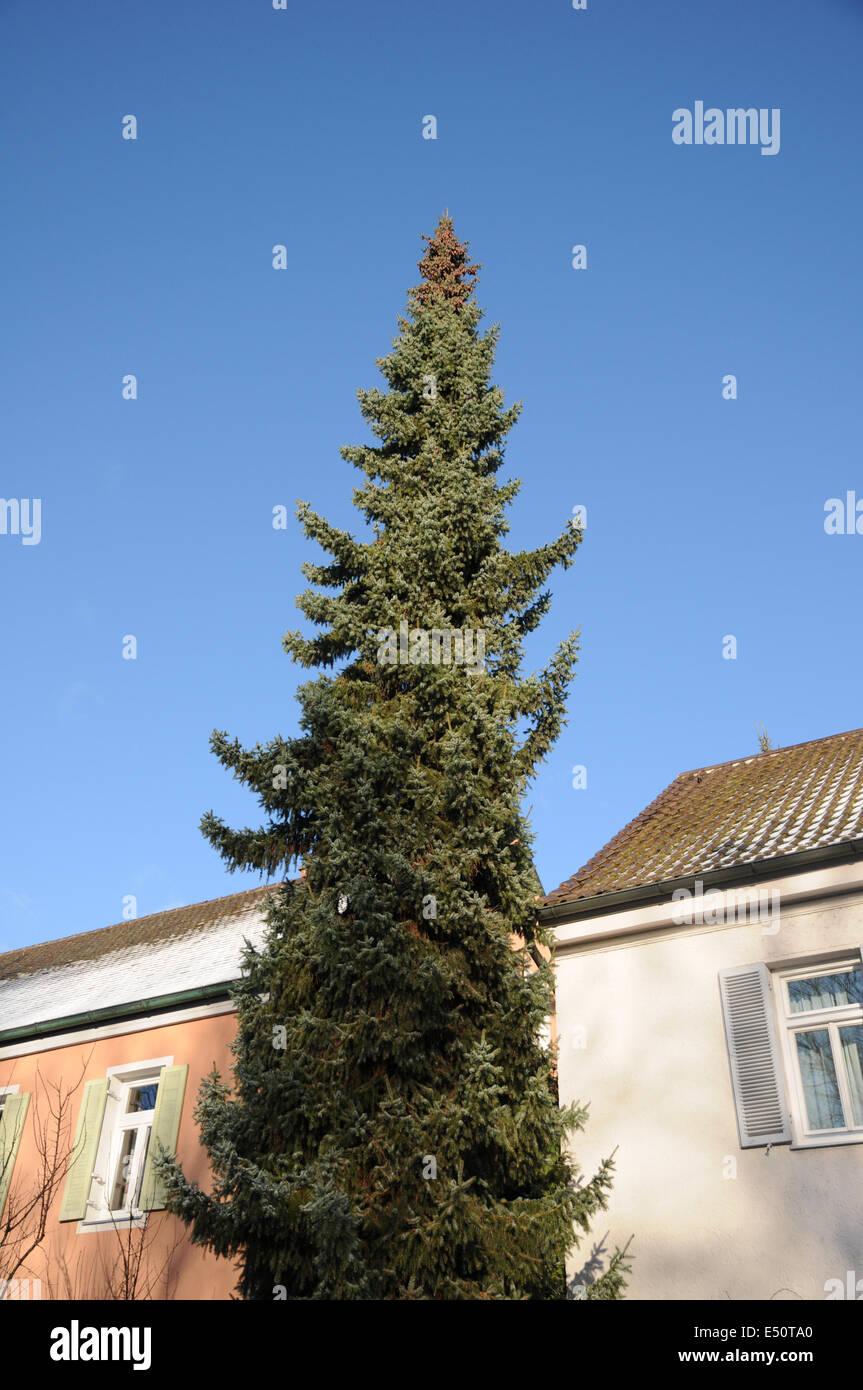 Serbian spruce - Stock Image