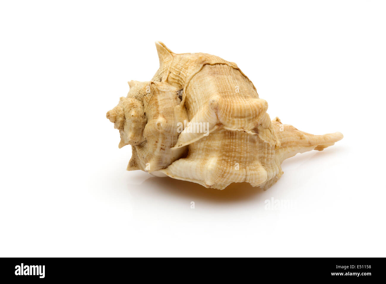 Sea ​​shell caracola de mar - Stock Image