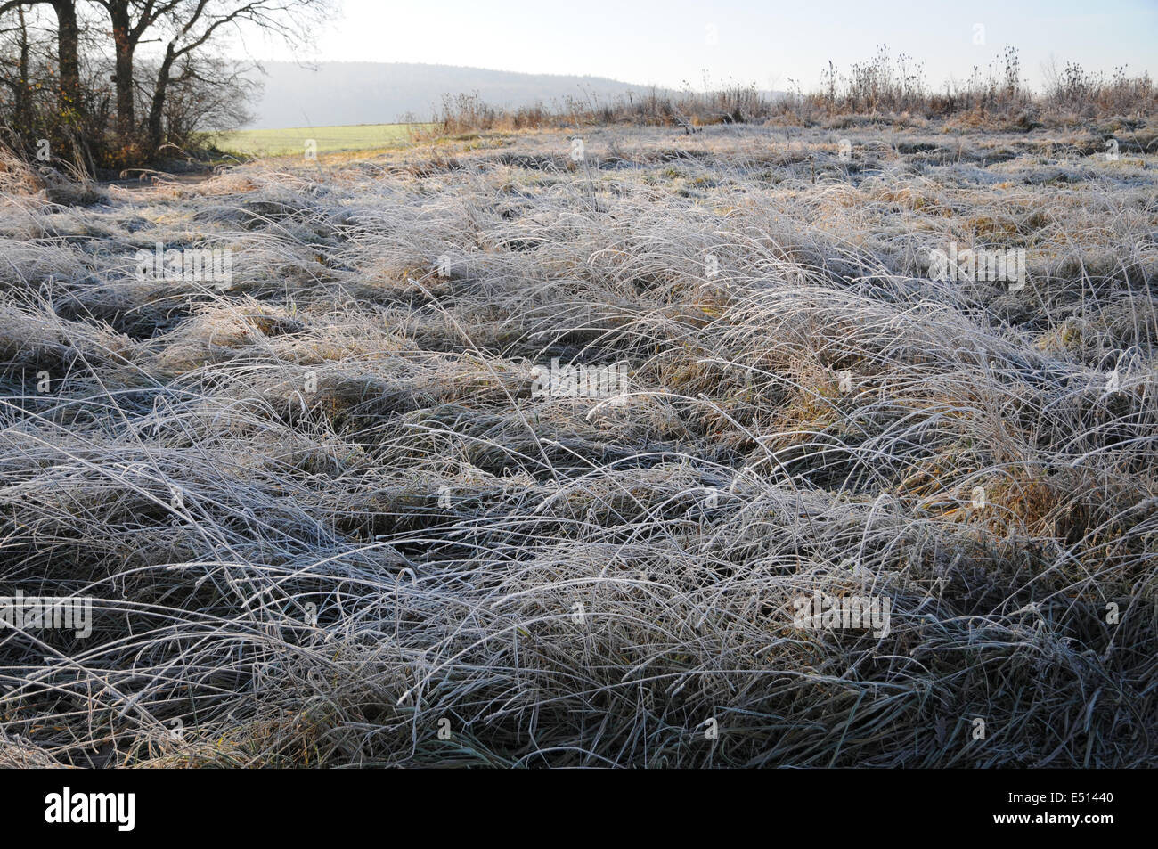 grasses with ice-crystals - Stock Image