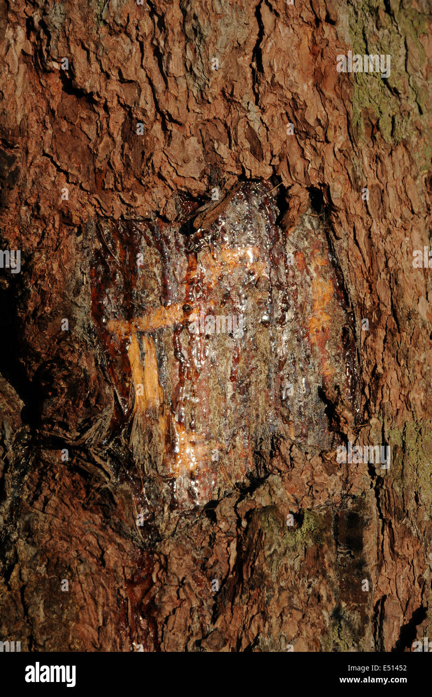 tree wound with resin - Stock Image