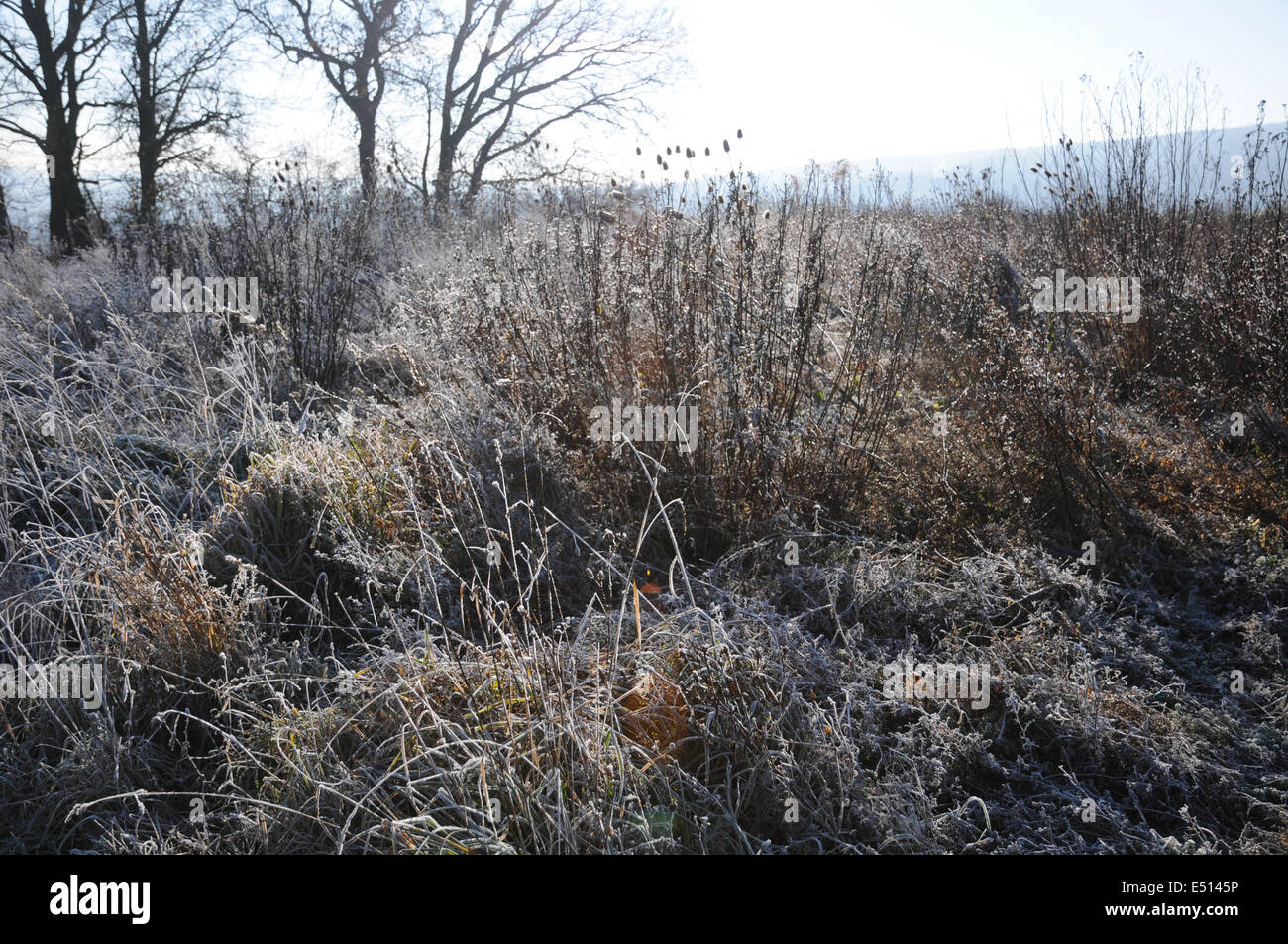 Herbs an grasses with ice-crystals - Stock Image
