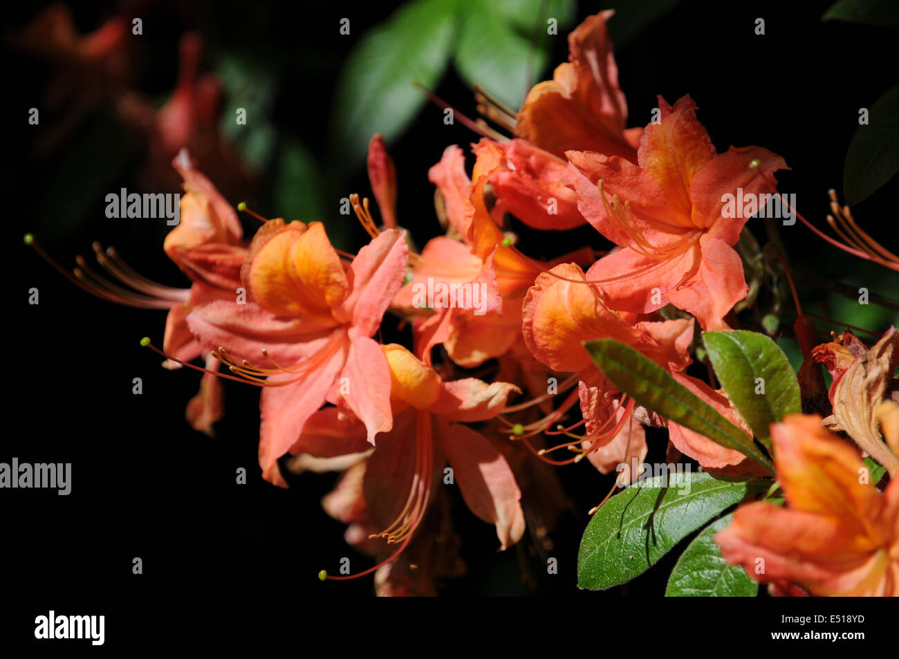 Rhododendron luteum Willem III - Stock Image