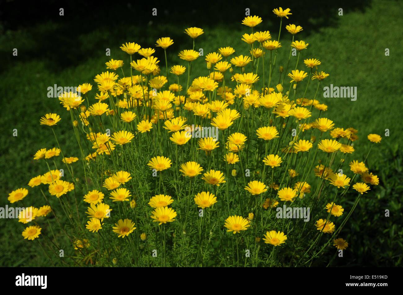 Yellow chamomile Stock Photo