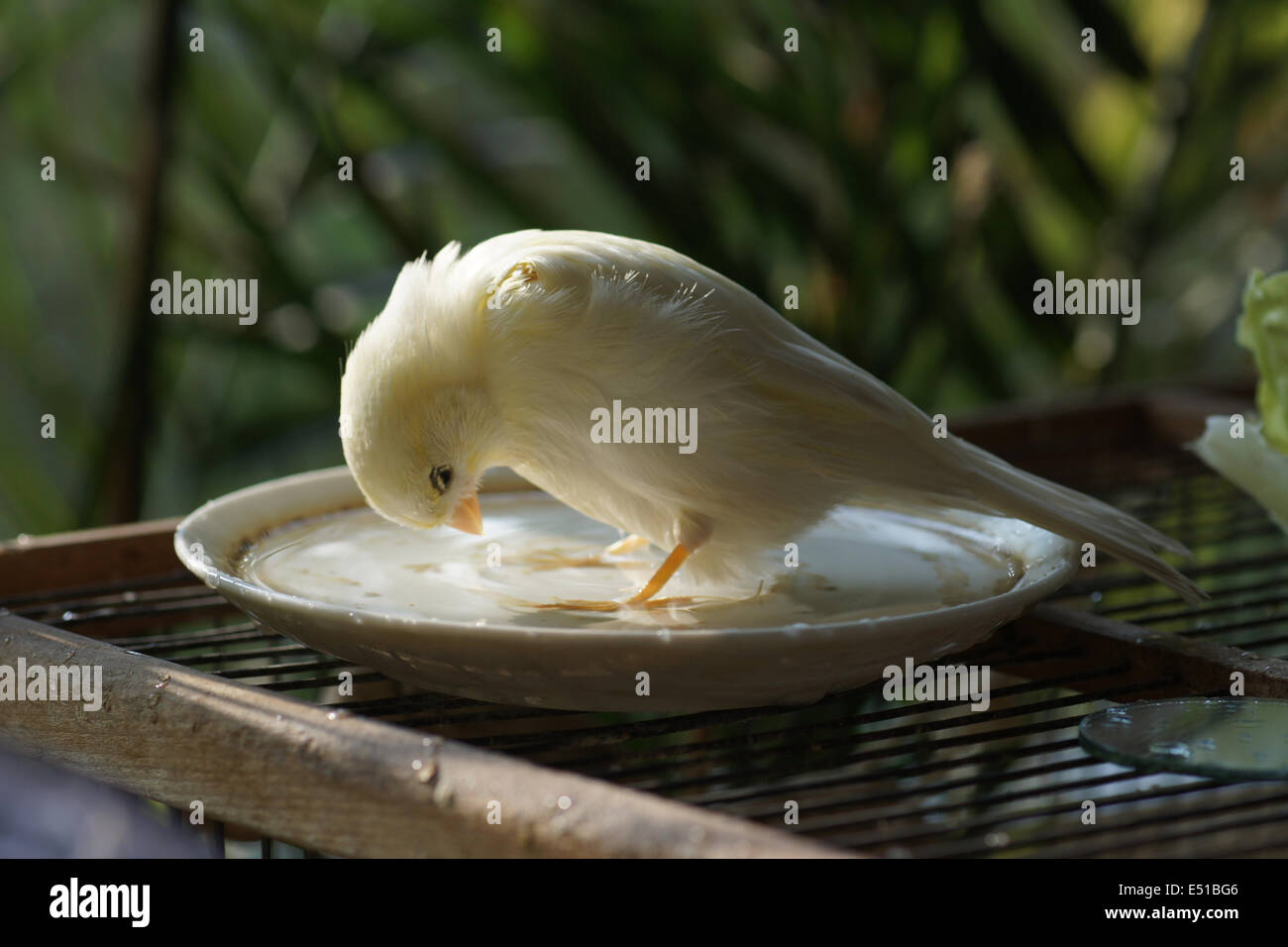 Canary in a birds bath - Stock Image