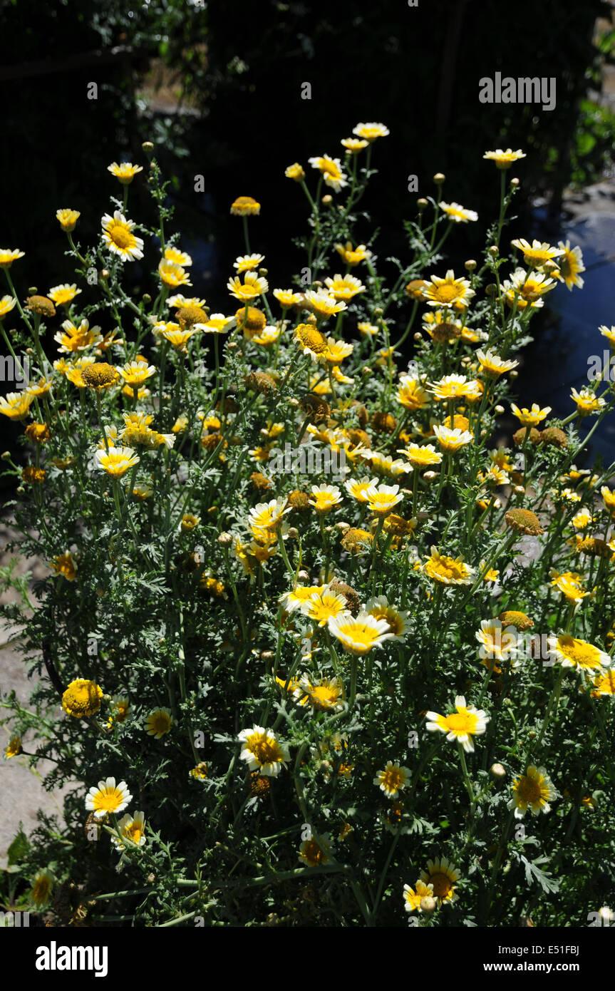 Eatable chrysanthemum - Stock Image