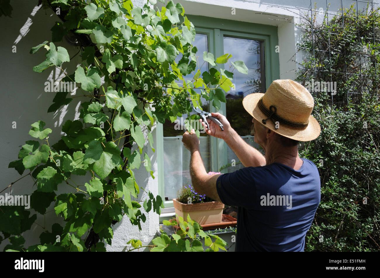 Vine pruning Stock Photo